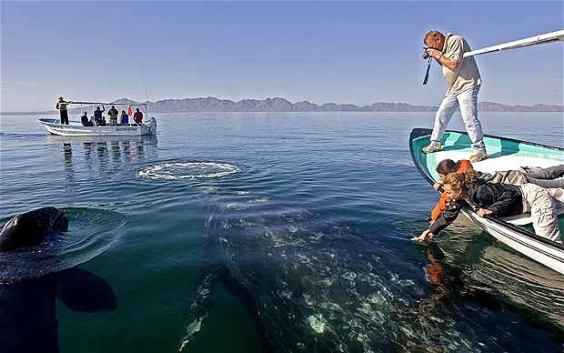 Gray whale watching on the sea of Cortez in Mexico. Photo: Getty